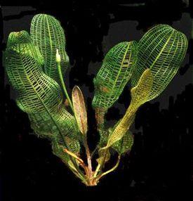 Red Madagascar Lace Plant Google Search Planted Aquarium Plants Plant Leaves