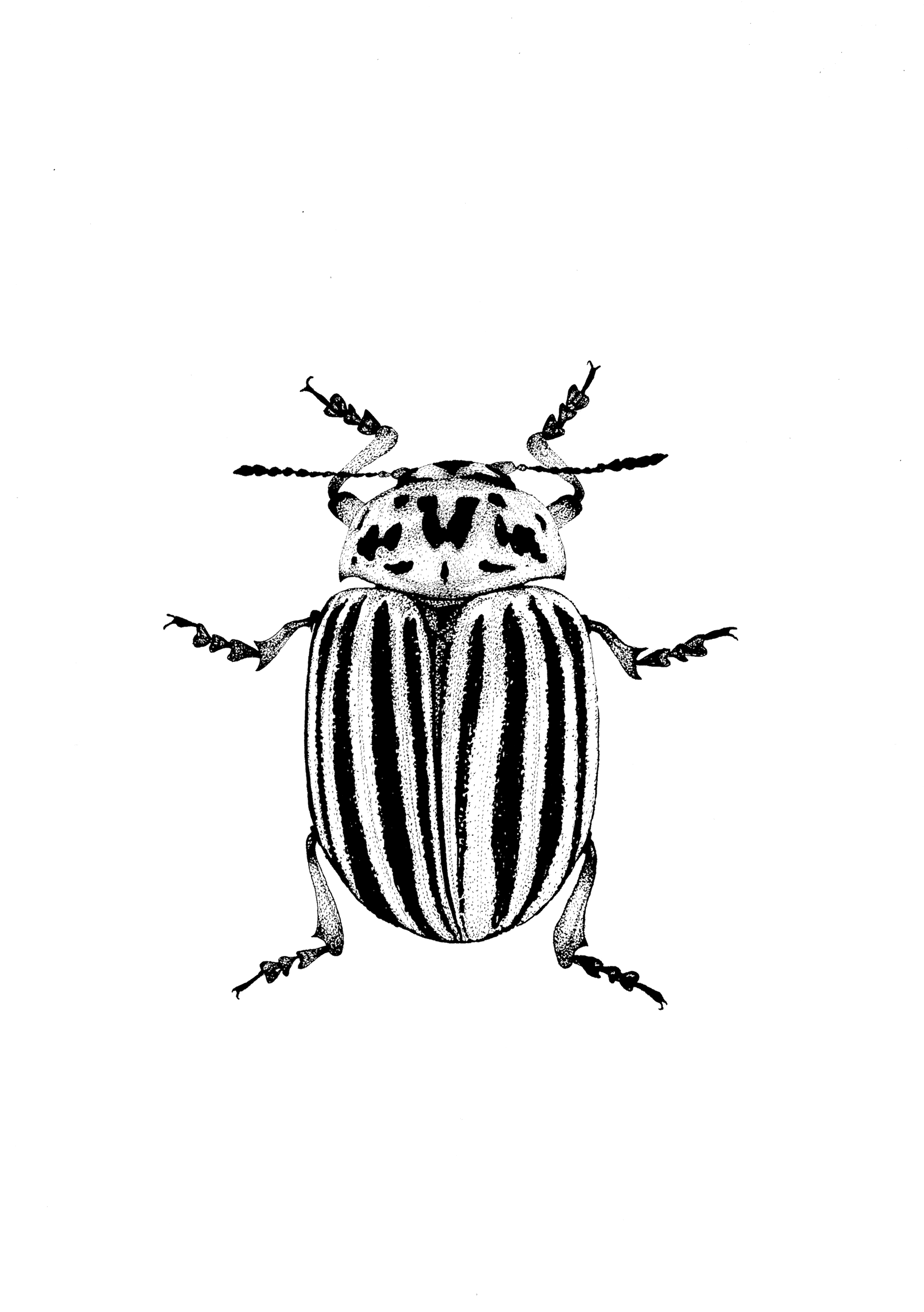 colorado bug beetle illustration ink drawing pen drawing from etsy kartoffelk fer k fer. Black Bedroom Furniture Sets. Home Design Ideas