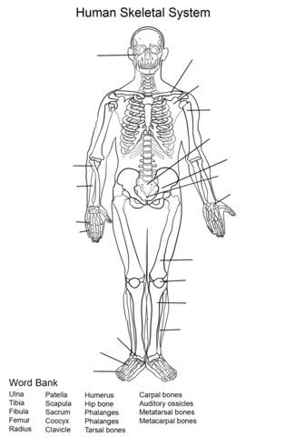 skeletal system coloring pages Human Skeletal System Worksheet Coloring page | Skeletal System  skeletal system coloring pages