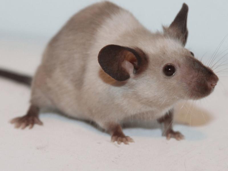 可愛くて賢いネズミ ファンシーラットの生態 特徴 飼い方 Petpedia ネズミ 動物 ハムスター