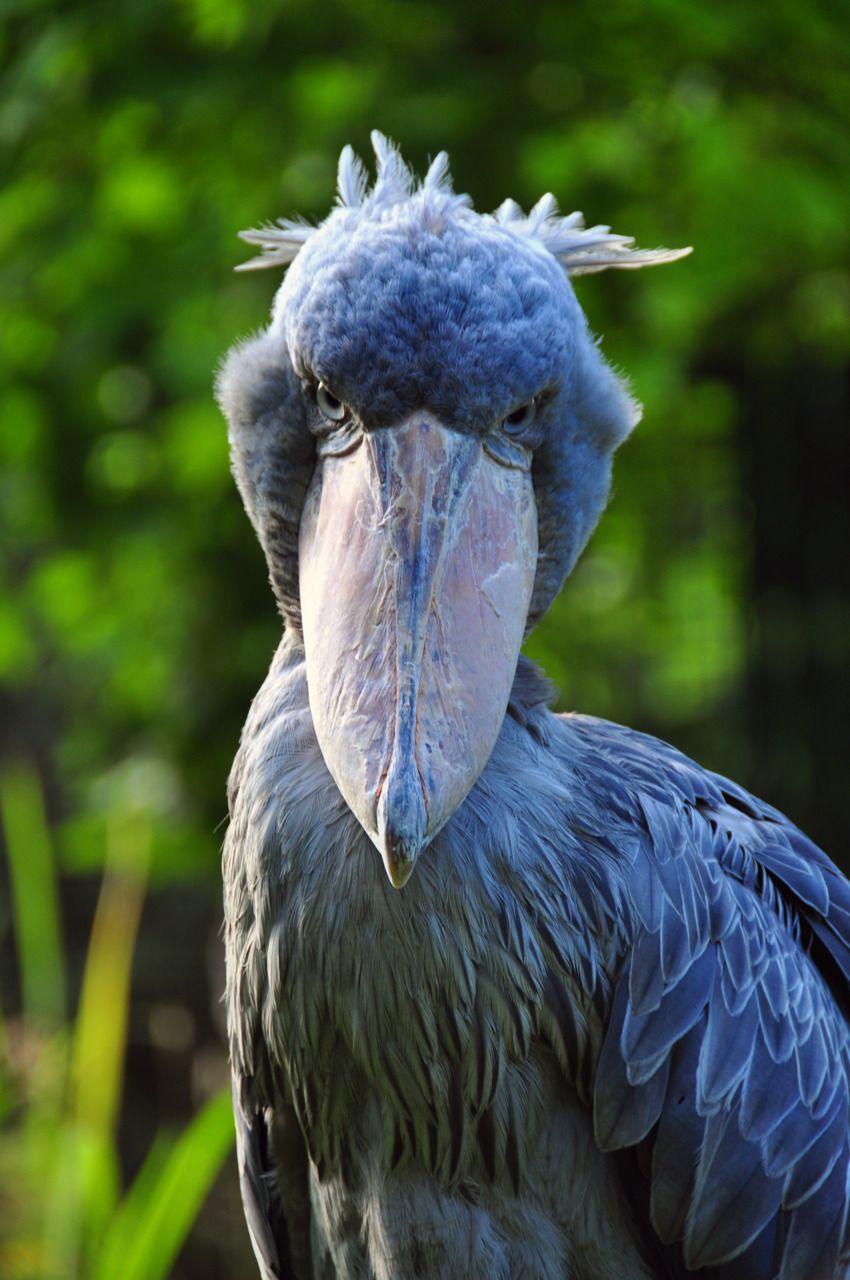 216 best Shoebill & Hamerkop images on Pinterest | Birds, Animal ...