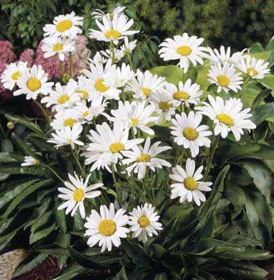Margareta / Leucanthemum Alaska
