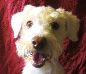 Bandy is an adoptable Schnauzer Dog in Leming, TX. Appx. DOB...
