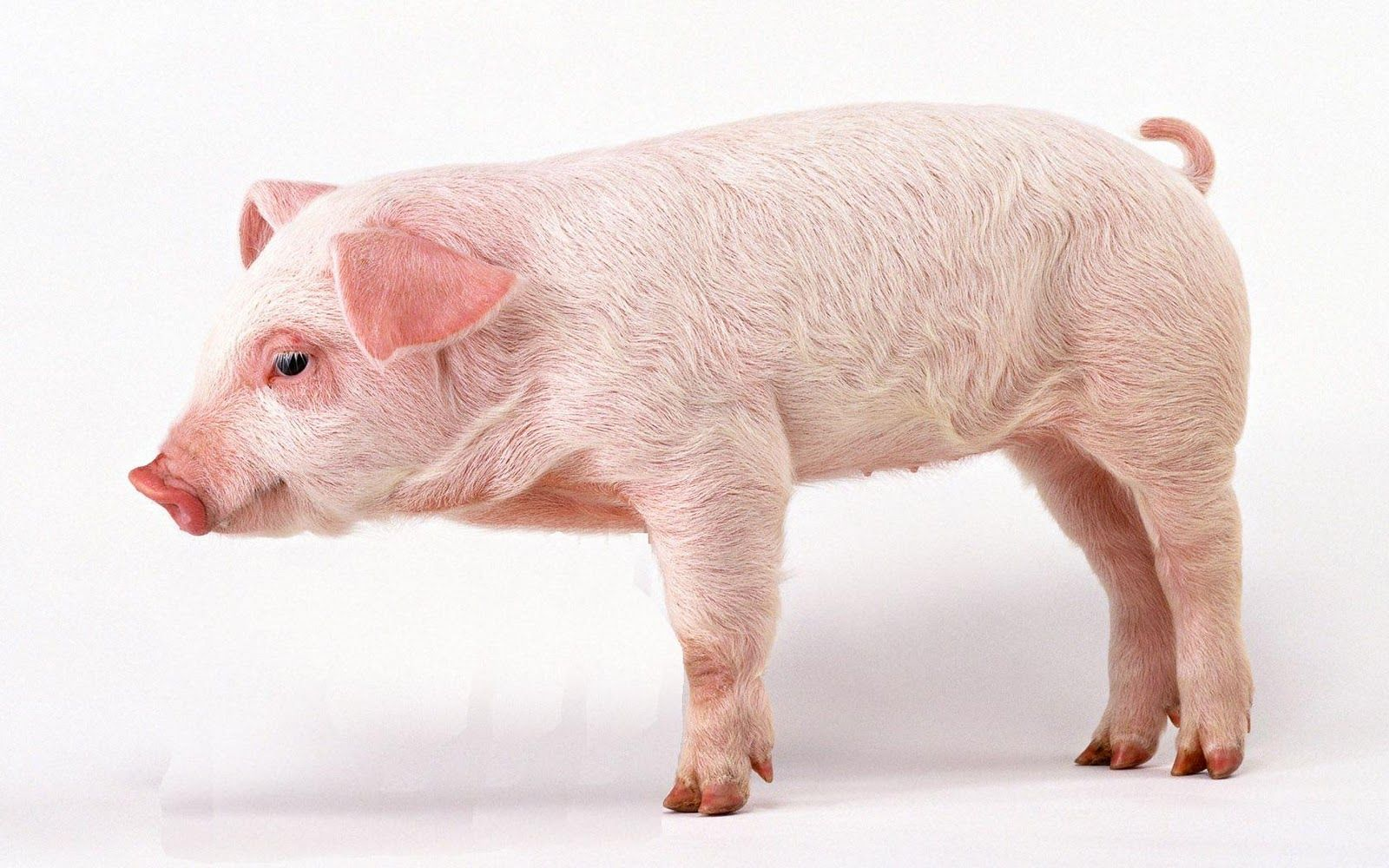 Image Result For Baby Pig Side View