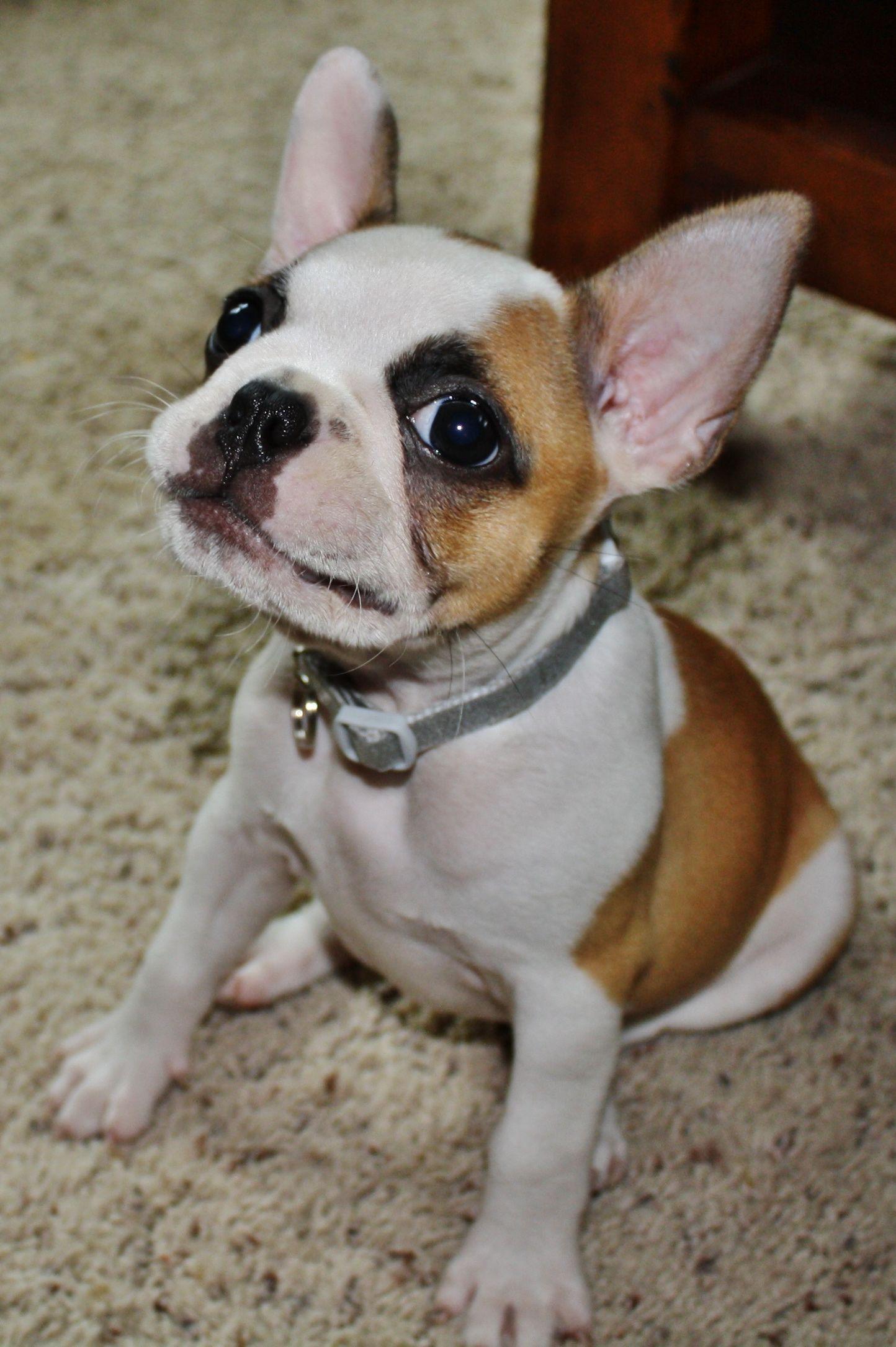 frenchton! french bulldog/boston terrier so stinkin cute! may be the