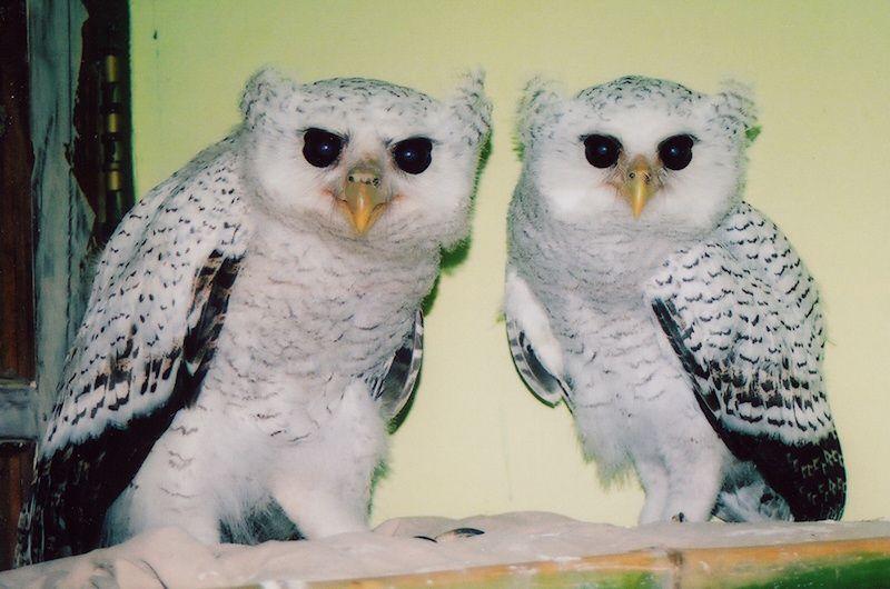 Barred Eagle Owl (Bubo sumatranus) juveniles. Photo by Anyelir Menur.