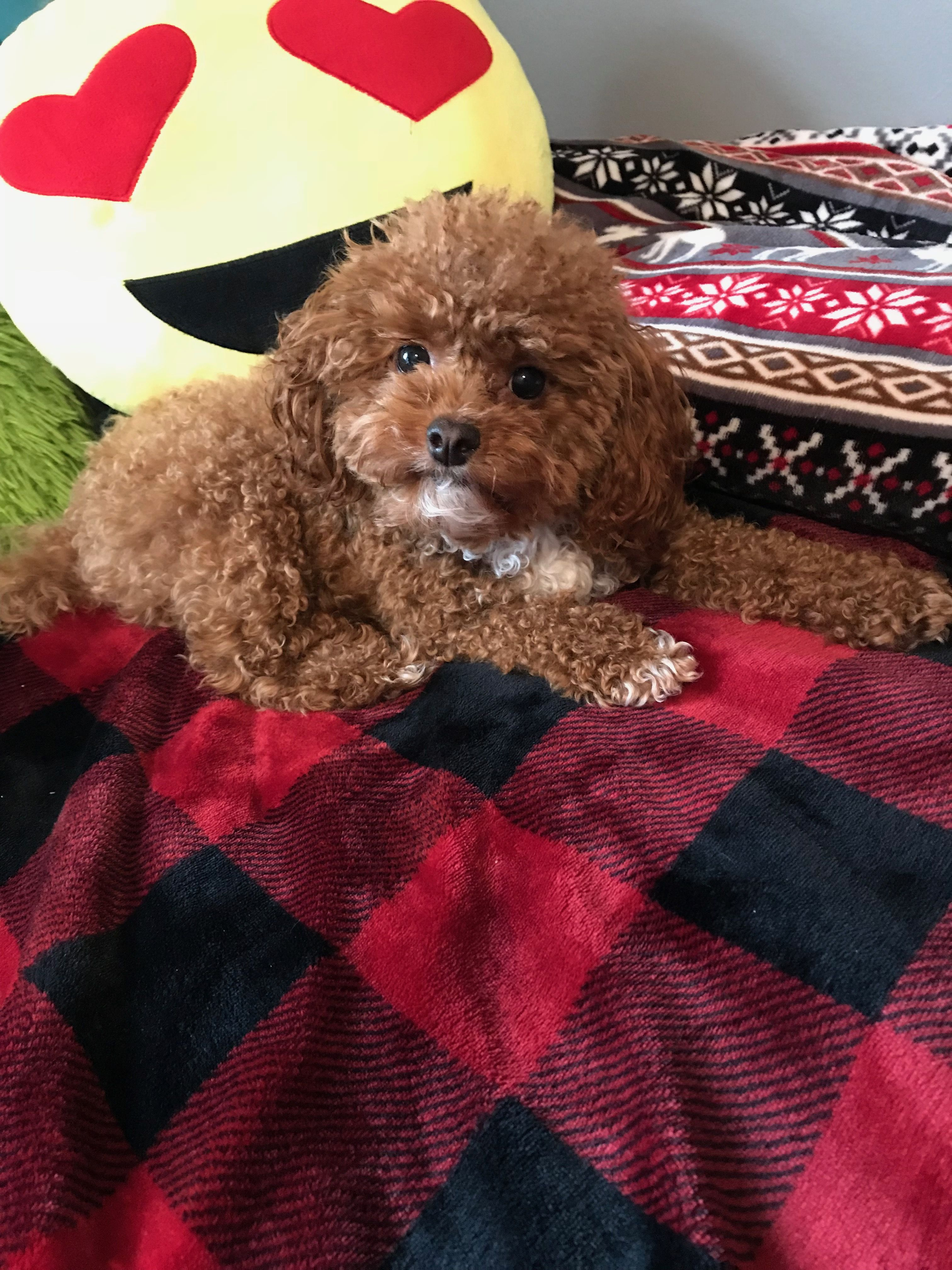 Pin by ana anano on toy poodle mia cute animals puppy