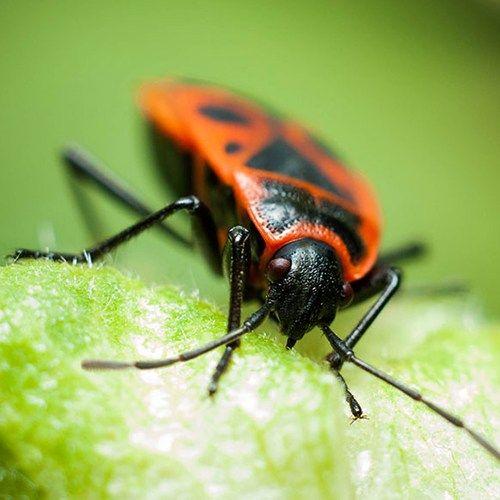 boxelder beetles aka boxelder bugs are black insects with distinctive red or orange markings. Black Bedroom Furniture Sets. Home Design Ideas