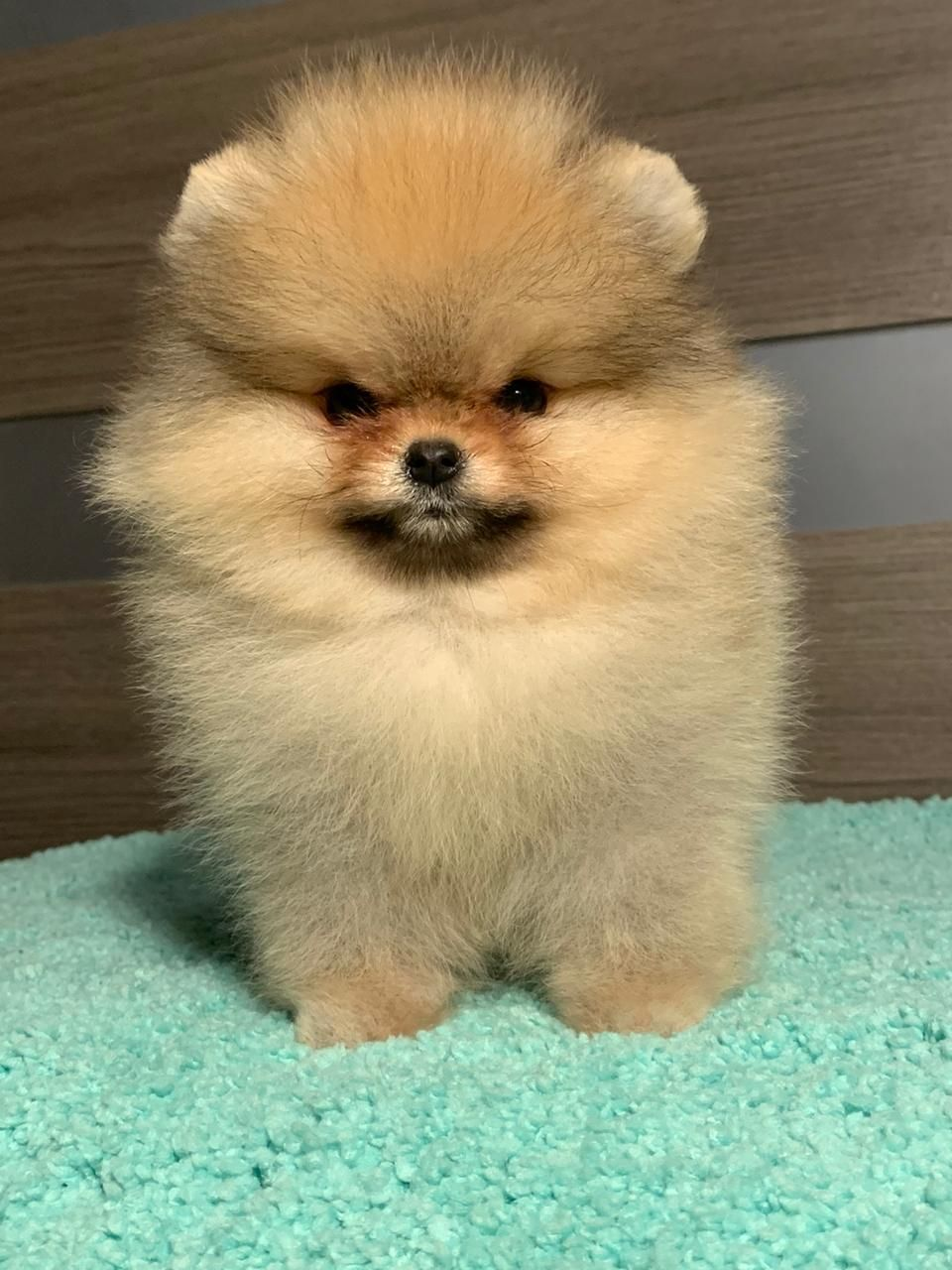 Boo Pomeranian Puppy In 2020 Pomeranian Puppy Puppies Baby Animals Super Cute