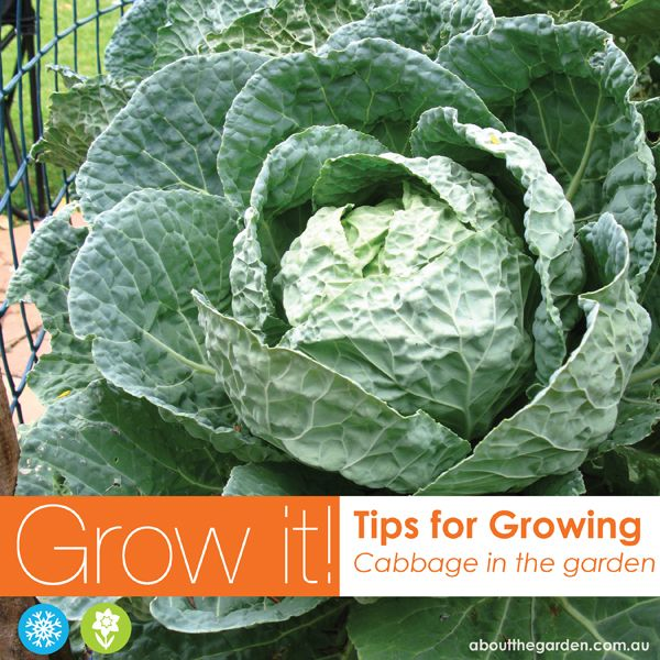 Growing Australian Native Plants: Growing Cabbage In Australia Vegetable Garden