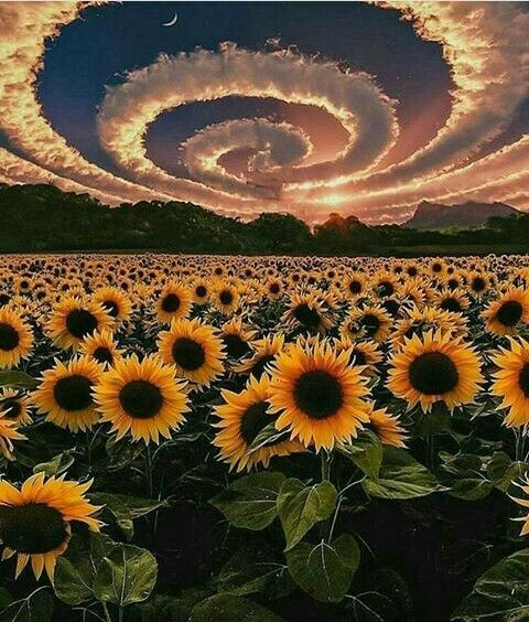Pin By Theodora Woodall Gill On Hippy Art Sunflower Wallpaper Nature Wallpaper Sunflower Photo