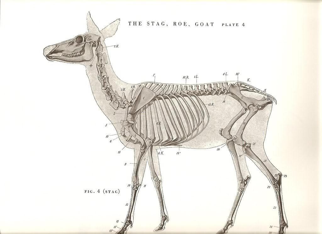 deer skeleton anatomy diagram 2005 jeep grand cherokee laredo radio wiring from an atlas of animal for artists by w. ellenberger. | in 2018 ...