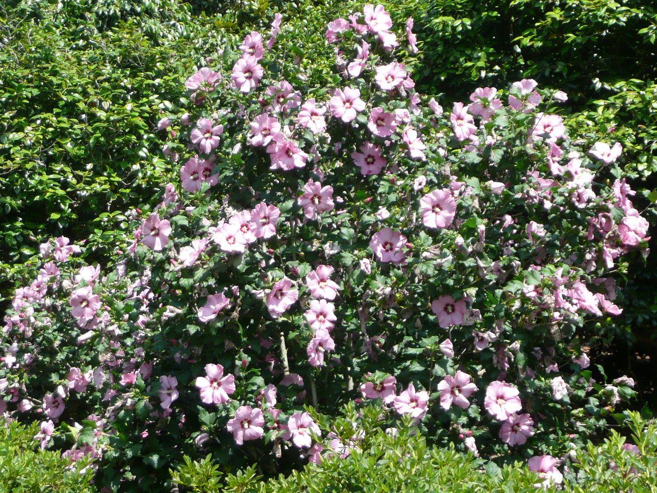 Althea aphrodite 39 althea summer flowering shrub lsu for Flowering landscape bushes