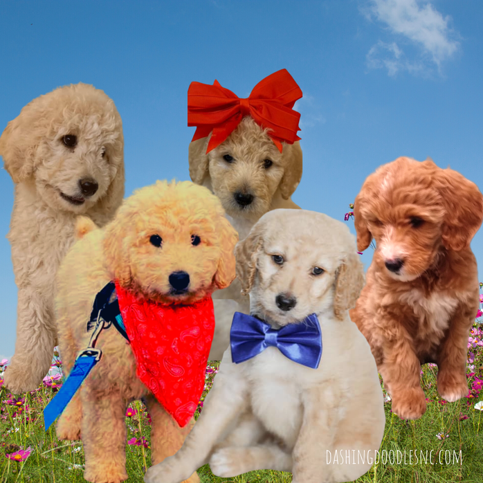Dashing Doodles Premier Goldendoodle Puppies Breeder Near Raleigh Nc In 2020 Goldendoodle Puppy Goldendoodle Puppy For Sale Goldendoodle Breeders