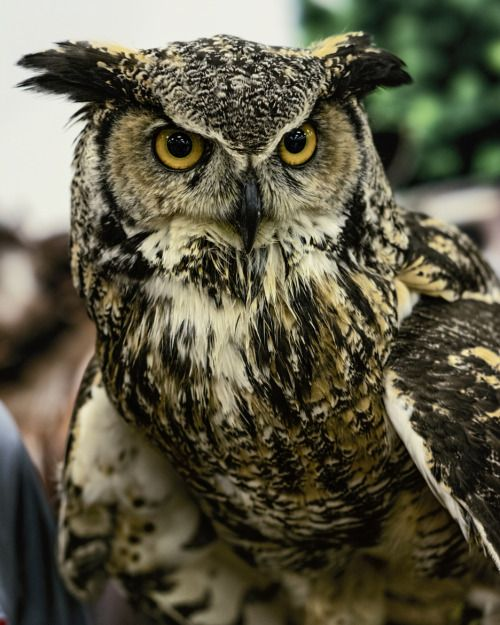benthix:  Great Horned Owl by Andrew Sokolovic #hoothoot #owl ❤️