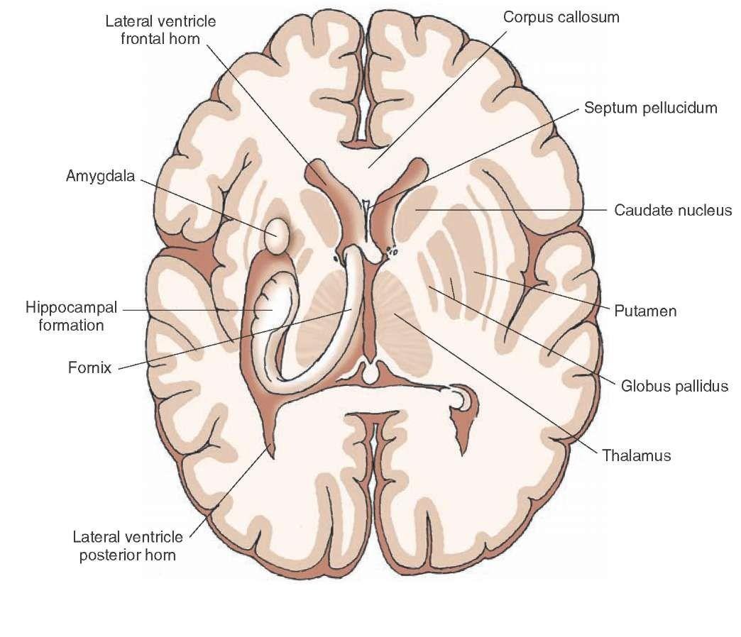 Horizontal Brain Diagram Label - Circuit Diagram Symbols •