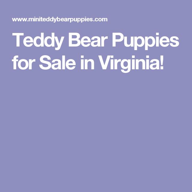 Teddy Bear Puppies For Sale In Virginia Teddy Bear Puppies Puppies For Sale Puppies