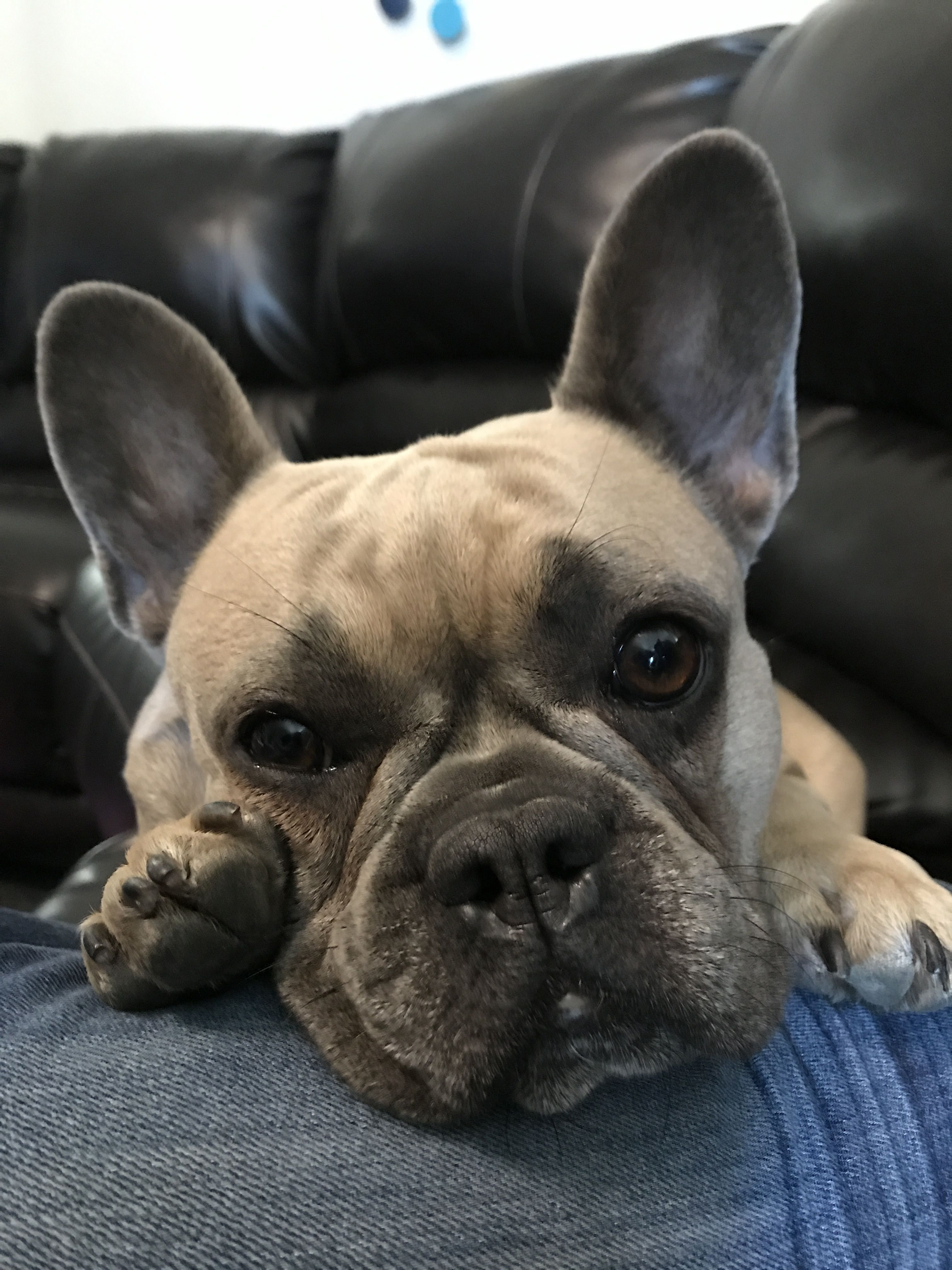 pin by frenchie pride on blue fawn sable french bulldog