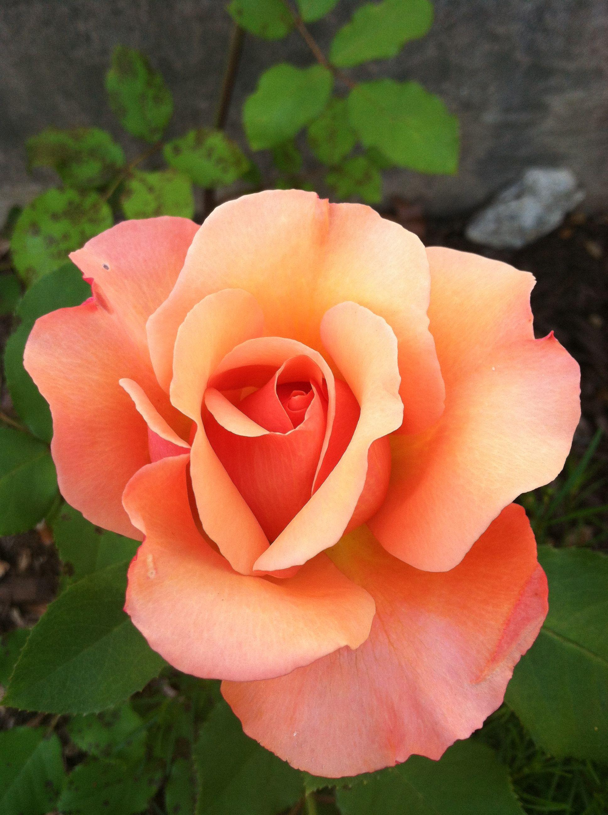 beste bilder om flowers på pinterest homo rosa roser og gerbera