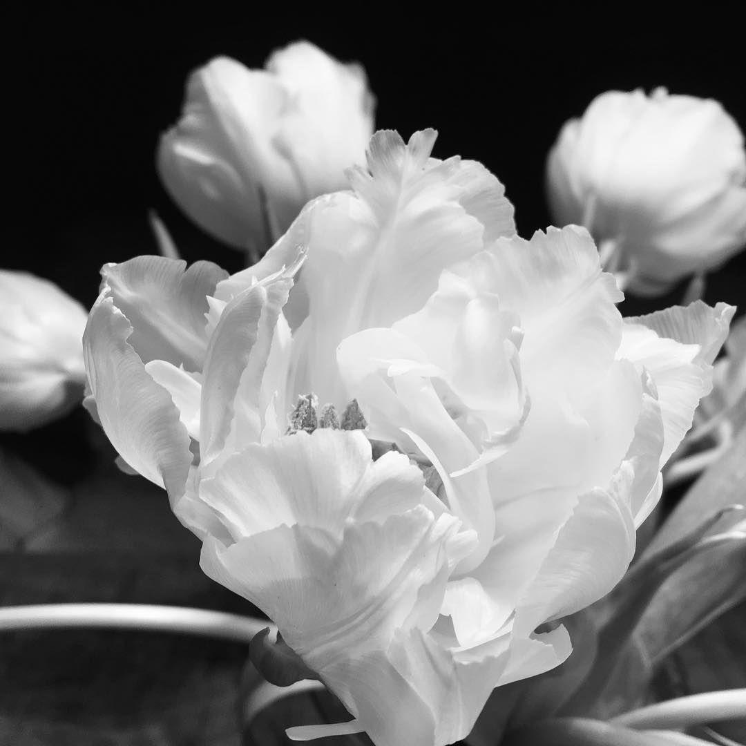 Weiße Tulpen Schwarz Weiß Fotografie Foto Schwarweiß Schwarzweiss Blackandwhite Blumen Flowers Blumenposter Welikeflowersde Fine Plants Flowers Rose