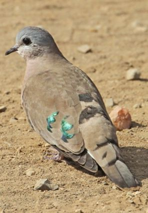 Emerald spotted wood dove.