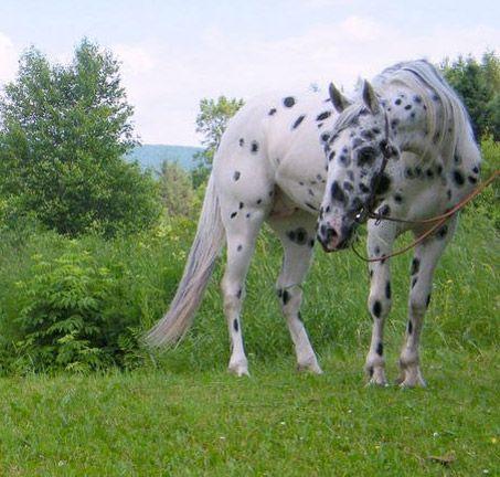horse / appy