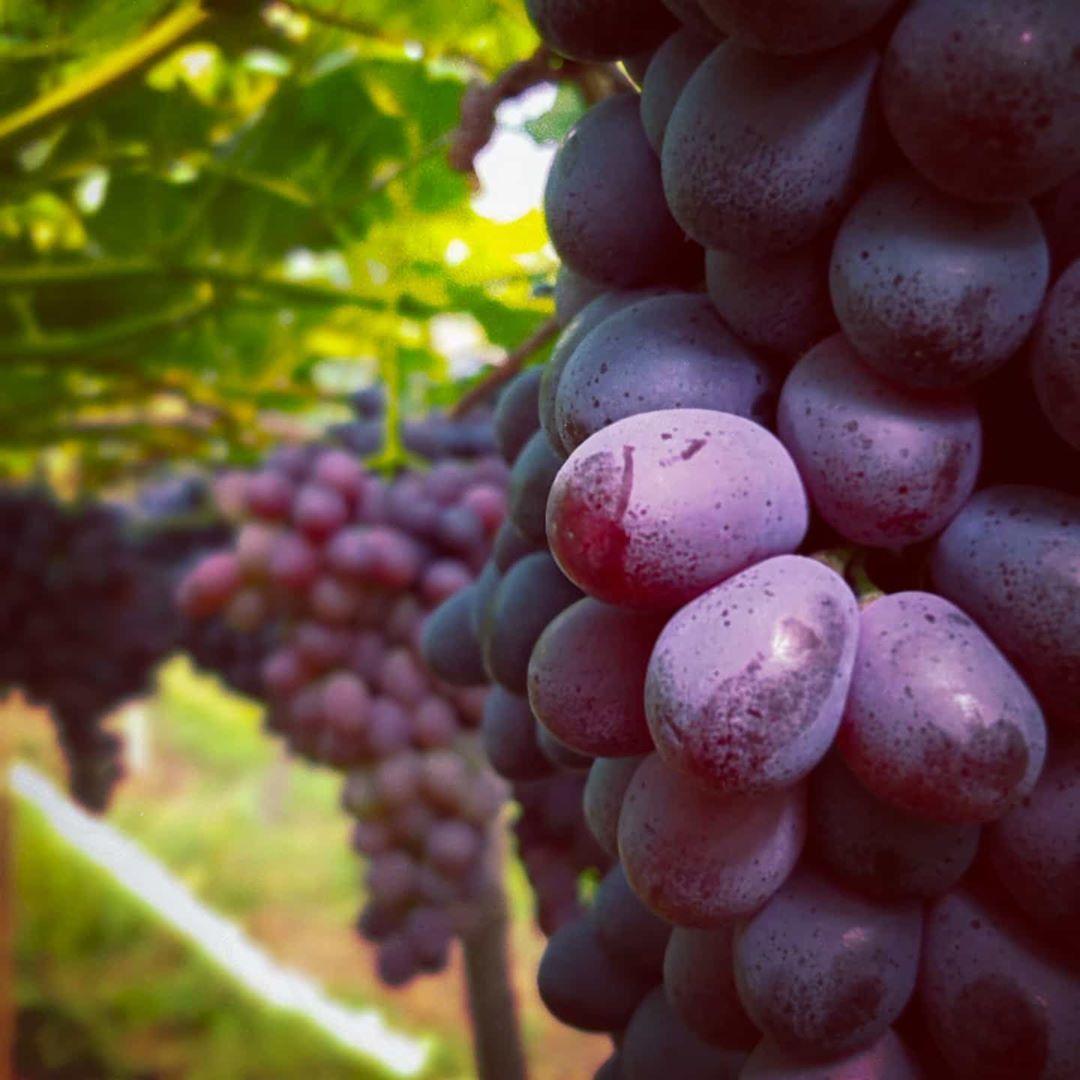 📷🍷🍇 #vindima2020 #vindima #uva #vinho #wine #brazil