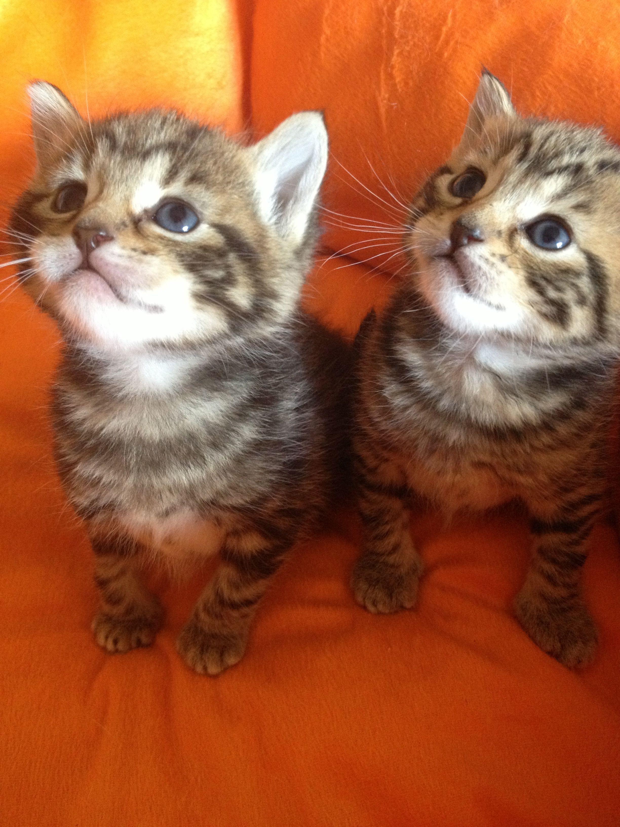 3 Weeks Old Tabby Kitten Siblings Very Cute Kittens Cutest Cute Animals Cute Baby Animals