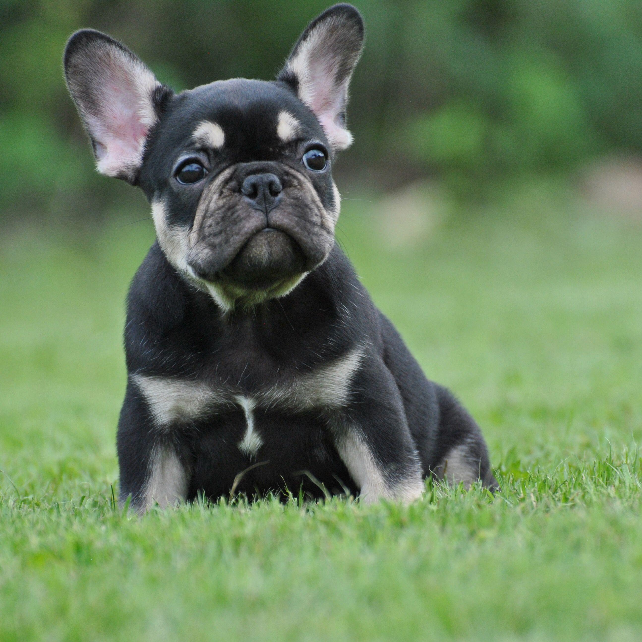 Jaha The Black And Tan Frenchie Bulldog Puppies Frenchie Puppy French Bulldog Puppies French bulldog pet friend dog green