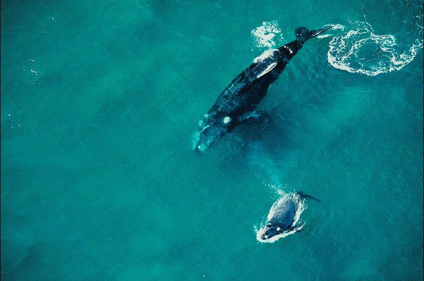 Endangered Animals In Brazil Right Whale South Eubalaena