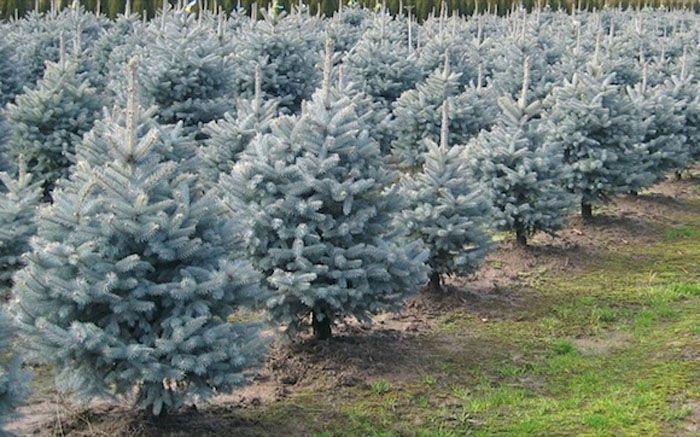 Picea Pungens Glauca Baby Blue Eyes Progressive Plants Landscape Nursery Blue Spruce Tree Colorado Blue Spruce