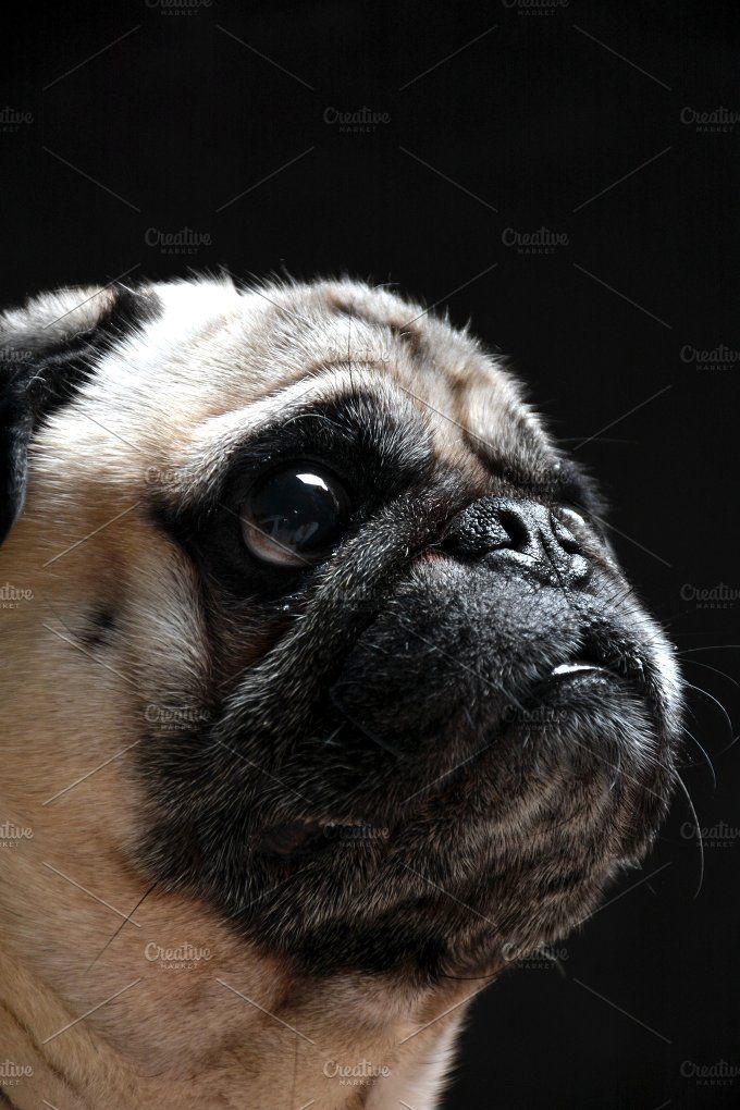 Dog Pug Photos Pug Dog Looking Toward Up While You Give Something
