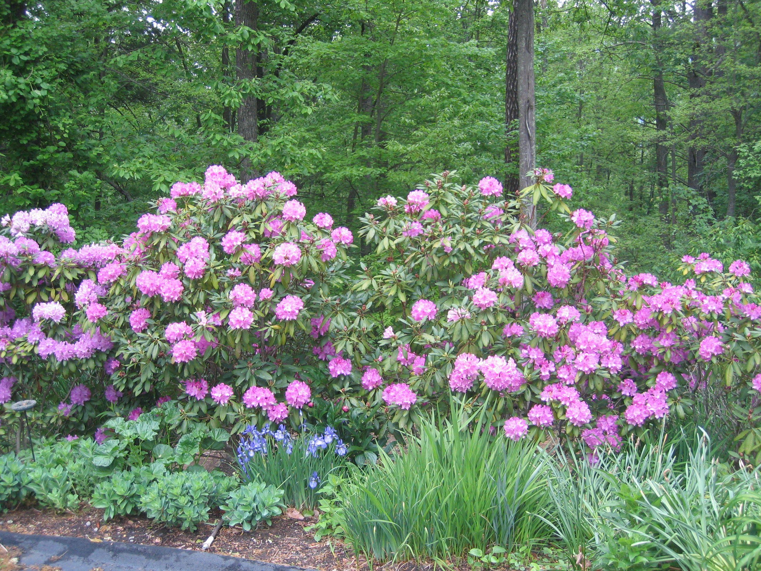 Rhododendron Garden Ideas