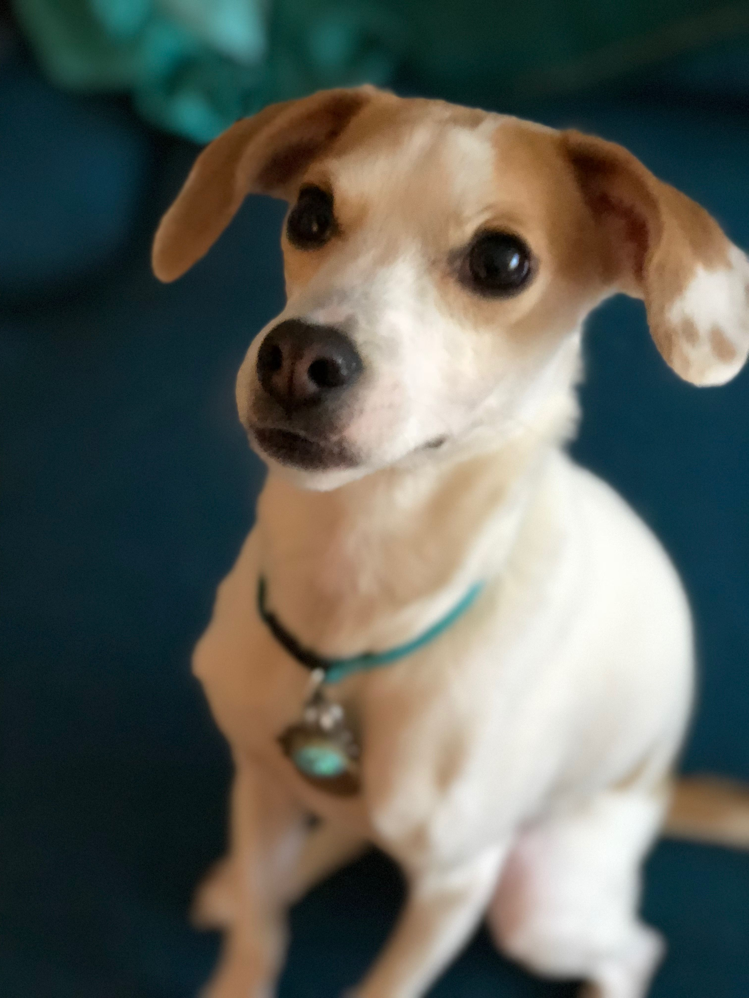 Beagle Italian Greyhound Mix Cute Animals Italian Greyhound Pup