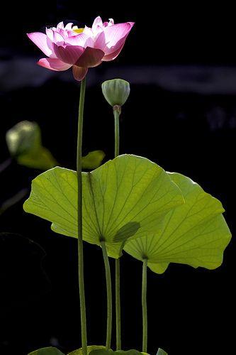 Fountain Lotus Central Park Nyc Beautiful World Lotus