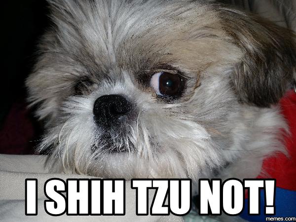 Image Result For Shih Tzu Memes Shih Tzu Puppy Shih Tzu Funny Shih Tzu