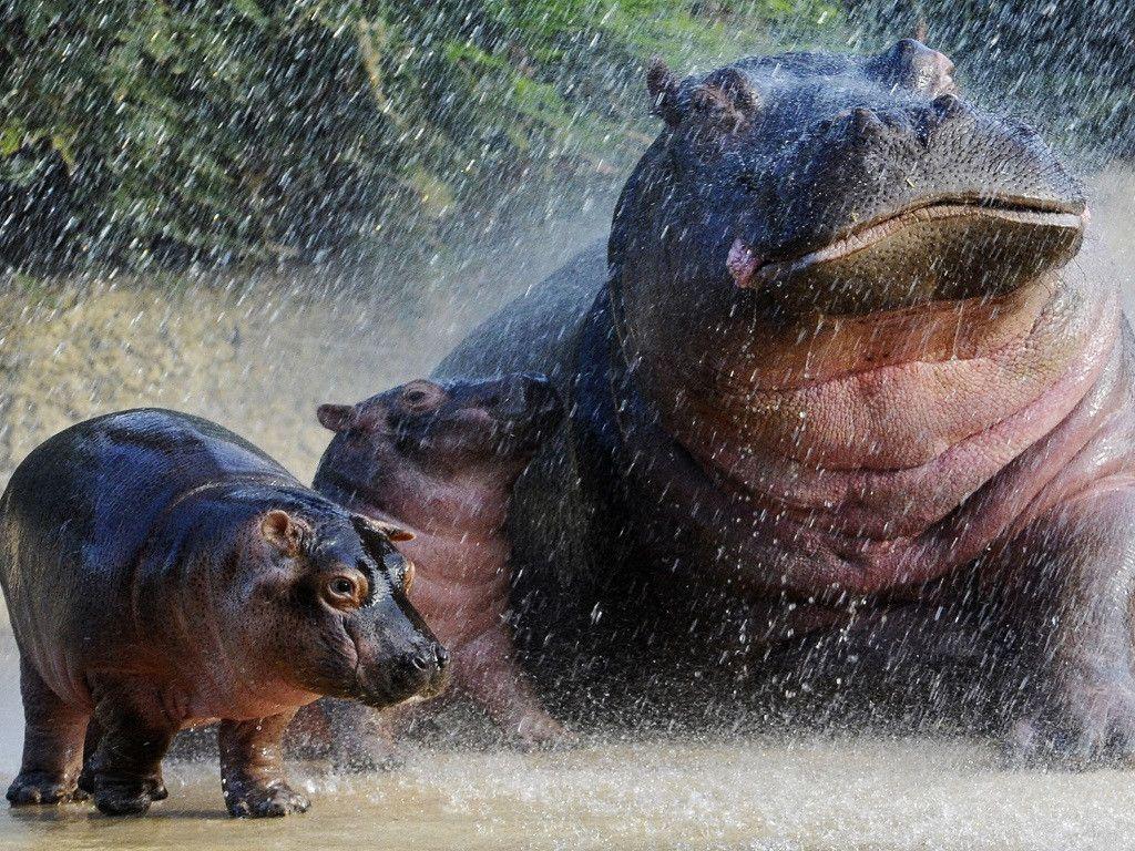 My Free Wallpapers Nature Wallpaper Hippos Baby Hippo Hippopotamus Hippo