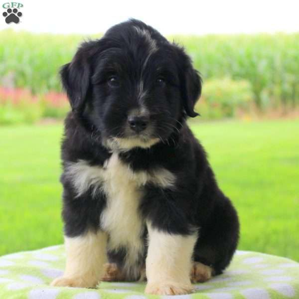 Keith Dachshund Puppy For Sale In Pennsylvania Con Imagenes