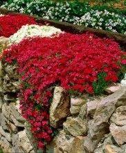 Fiori Bianchi Tappezzanti.Phlox Tappezzante Giardini Con Fiori Piccoli Fiori Da Balcone E