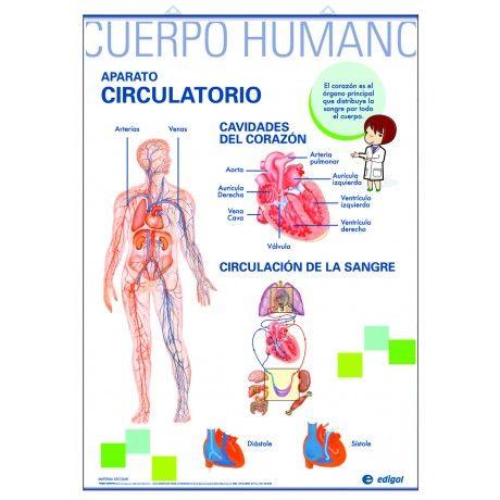 Lamina para niños del sistema circulatorio - Imagui | Anatomía ...