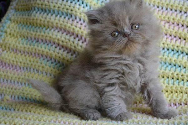 Free Classifieds Hoobly Classifieds Cute Animals Kittens Cutest Cats And Kittens