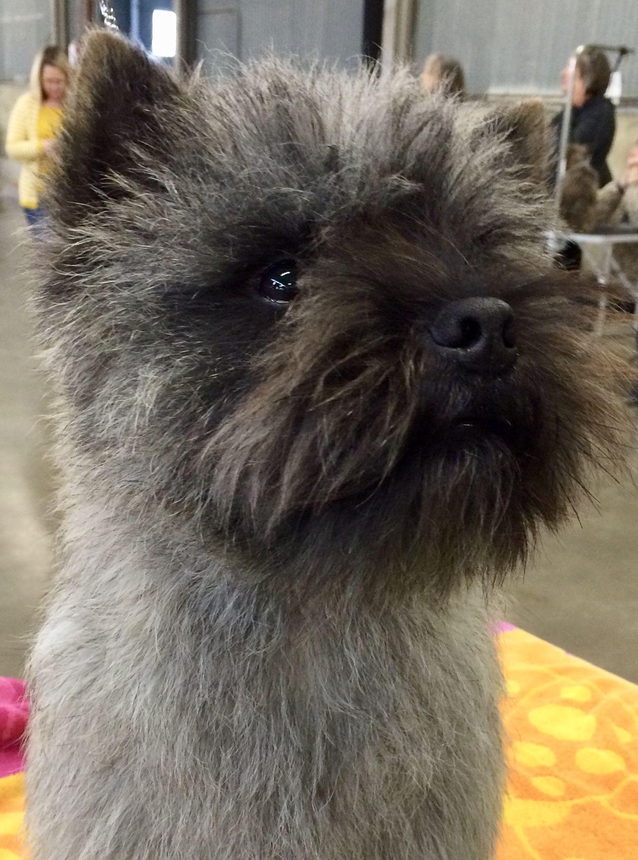 Little Guy Cairn Terrier Puppies Terrier Dog Breeds Cairn Terrier