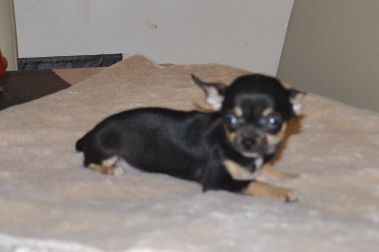 Stunning Kc Reg Tiny Chihuahuas Now Ready Cannock Staffordshire Pets4homes Tiny Girl Chihuahua Puppies