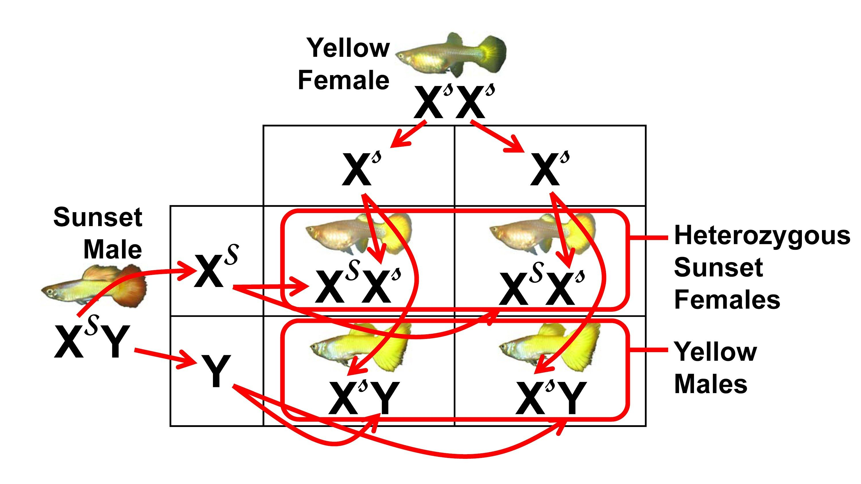 Types of guppies ans their genetic codes aquariums fish types of guppies ans their genetic codes aquariums fish pinterest guppy aquariums and fish nvjuhfo Images