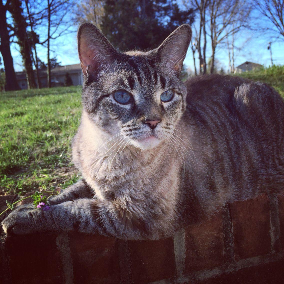 Lynx Point Siamese Rescue!!! Siamese rescue, Siamese, Cats