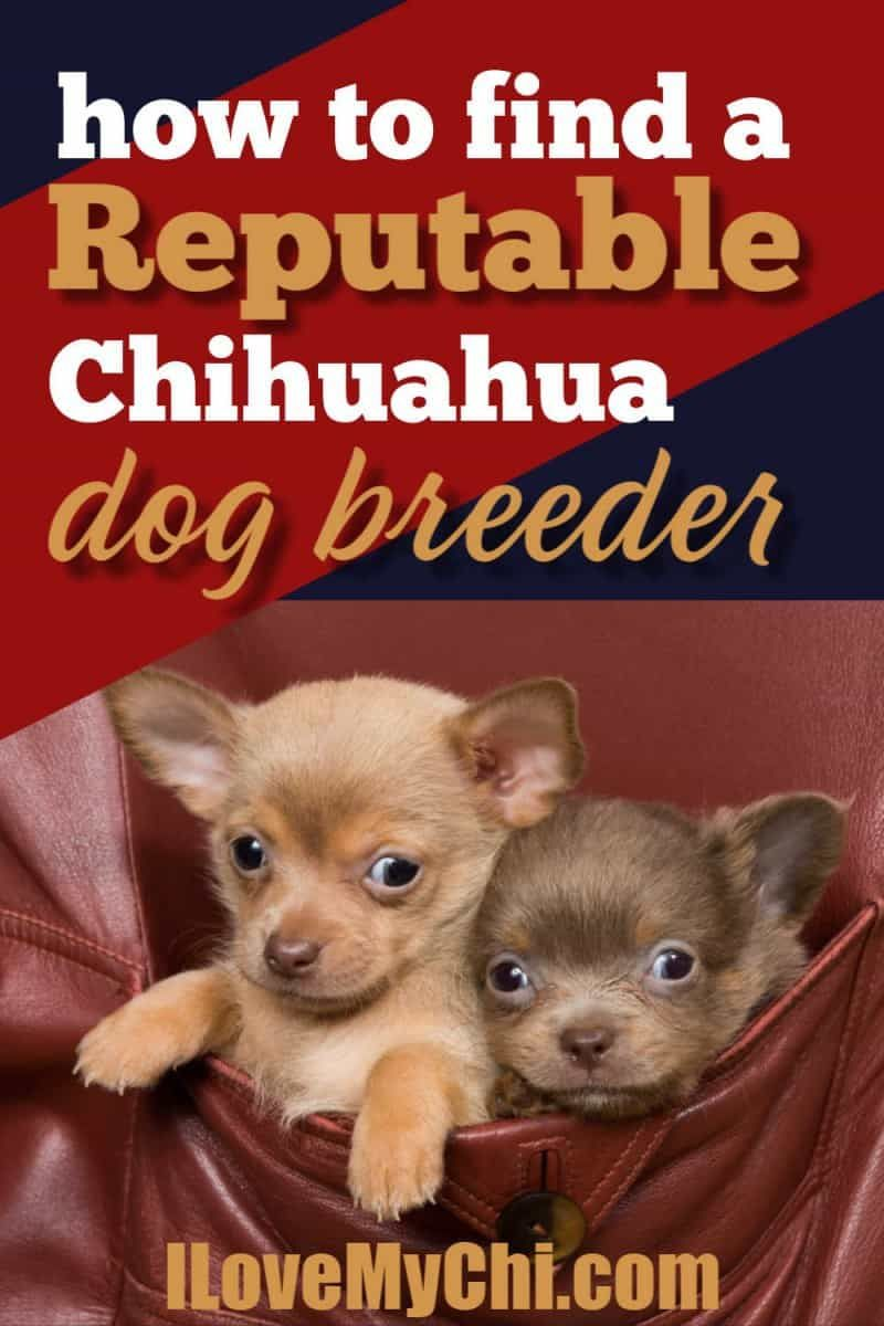 How To Find A Reputable Chihuahua Dog Breeder In 2020 Dog Breeder Chihuahua Dogs Chihuahua Breeders