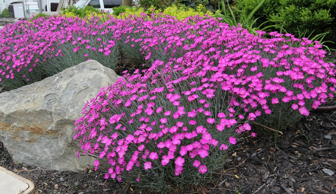 Dianthus firewitch ground cover pink flowers showy foliage evergreen dianthus firewitch ground cover pink flowers showy foliage evergreen perennial sun boarder plant whistler pemberton super mightylinksfo Image collections