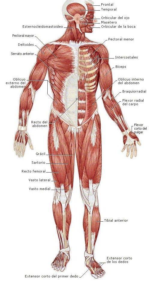 sistema muscular - Buscar con Google | Anatomia _ musculature ...