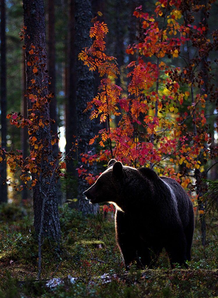Black bears in fall