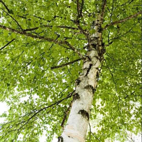 White Birch 7 5 Liter Pot Height 150 200 Cm Green Gamm Bouleau Blanc Bouleau Arbre